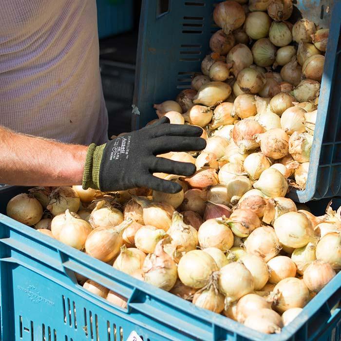 situacion del cultivo de la cebolla en España
