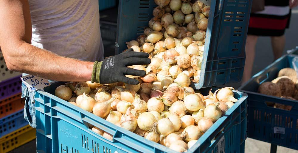 datos y situación del cultivo de la cebolla